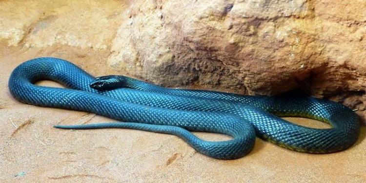 1 Il serpente più velenoso del mondo è il Taipan