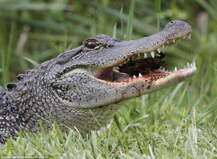 10 Alligatore mangia una tartaruga animali più pericolosi terrificanti del mondo