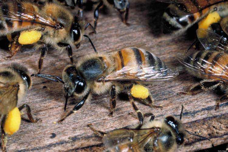 6 L'ape africanizzata