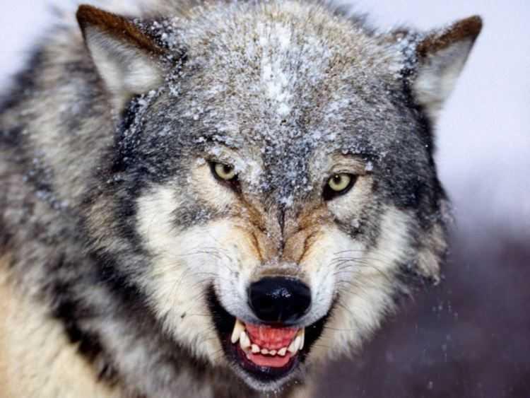 9 Un lupo che ringhia