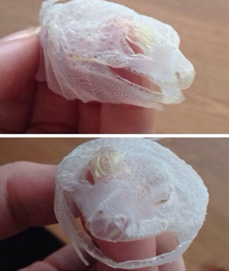 Pelle della testa di una lucertola tirata con un unico movimento, ecco il risultato.