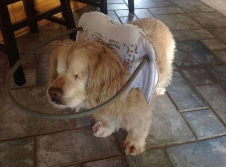 Un aiuto speciale per questo cane cieoo, in modo tale che non batta la testa contro gli ostacoli che gli si parano sul cammino.